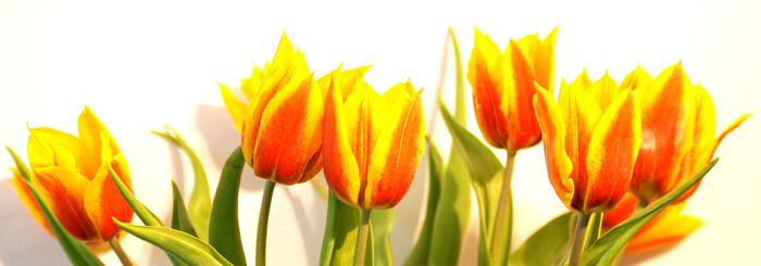 Zdjęcia zokazji tulipany